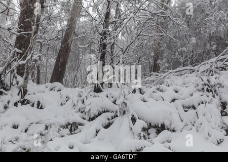 Snow in Australian eucalyptus forest on Mount Donna Buang, Victoria. Snow covered ferns and trees - Stock Photo