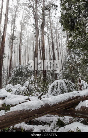 Snow laying on fallen trees and ferns in Australian eucalyptus forest on Mount Donna Buang, Victoria - Stock Photo