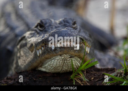 Alligator, Alligator mississipiensis, Aligator - Stock Photo