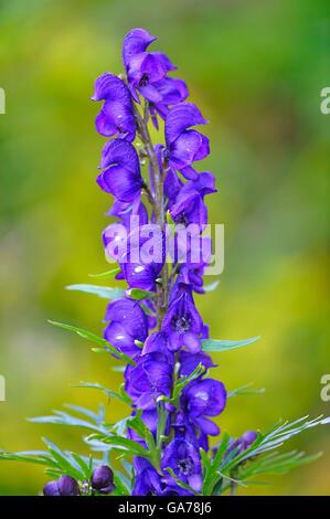blauer Eisenhut (Aconitum napellus) Aconite - Stock Photo