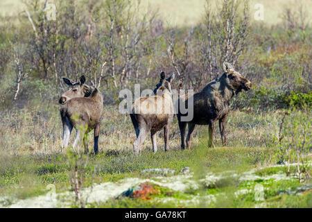Elch (Alces alces) Moose - Stock Photo