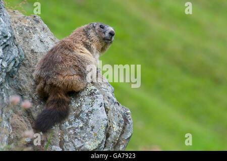 Murmeltier, Marmota marmota, Marmot - Stock Photo