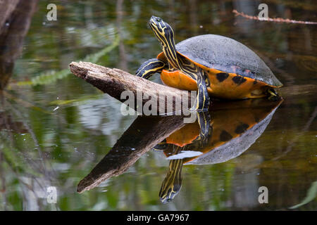Rotbauch Schmuckschildkroete, Pseudemys nelsoni, red bellied Turtle - Stock Photo
