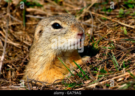 Ziesel (Spermophilus citellus) European ground squirrel - Stock Photo