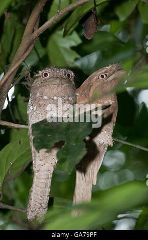 The image of Srilanka Frogmouth (Batrachostomus moniliger) In Kerala, India - Stock Photo