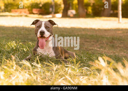 Beautiful portrait of an American Staffordshire terrier dog. - Stock Photo