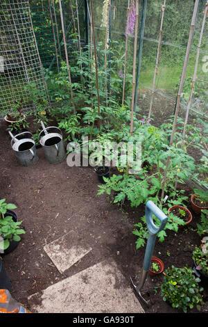 Tomato plants growing inside a greenhouse. UK - Stock Photo