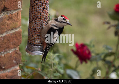 Greater Spotted Woodpecker Feeds on Nut Feeder at Rural Home - Stock Photo
