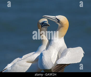 Gannet, Sula bassana, performing their courtship display ritual at their breeding colony on Bempton Cliffs, Yorkshire, - Stock Photo