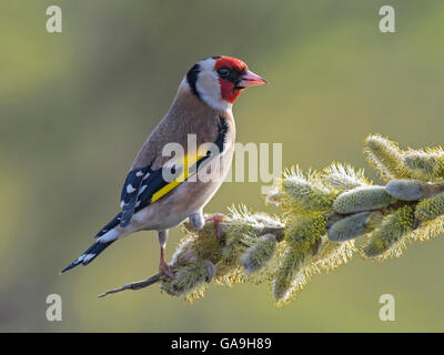 Goldfinch on willow blossum Carduelis carduelis, Lancashire, England, - Stock Photo