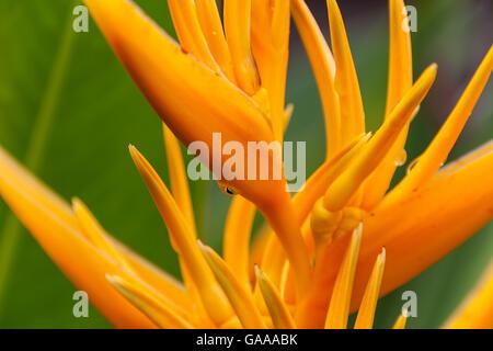 Heliconia Psittacorum, golden torch flower on Borneo,  Malaysia - Stock Photo