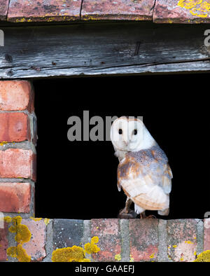 A wild barn owl returning to nest with a vole for it's young, Warwickshire - Stock Photo