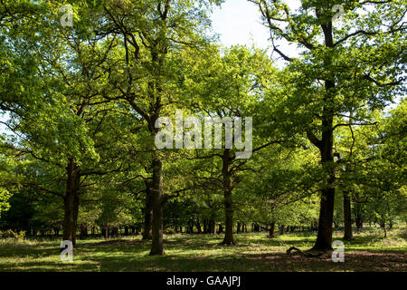 Germany, Troisdorf, North Rhine-Westphalia, oak trees in the Wahner Heath. - Stock Photo
