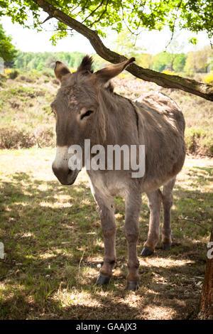 Germany, Troisdorf, North Rhine-Westphalia, donkeys in the Wahner Heath. - Stock Photo