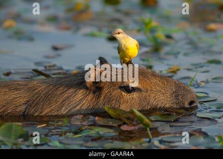 Cattle tyrant (Machetornis rixosus) perched on capibara¶ÿ (Hydrochoerus hydrochaeris)  Ibera Marshes, Corrientes - Stock Photo