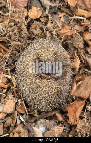 Hedgehog (Erinaceus europaeus) curled up sleeping in autumn leaves, UK, June, captive. - Stock Photo
