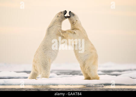 Polar bears (Ursus maritimus) courting on ocean ice north of Spitsbergen, Svalbard, Norway, July. - Stock Photo