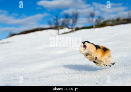 Norway lemming (Lemmus lemmus) jumping aggressively, during the lemming population explosion, Vauldalen, Norway, - Stock Photo