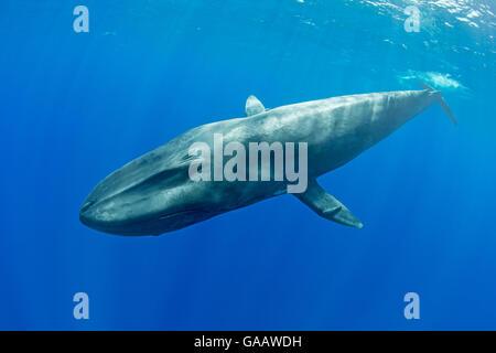 Pygmy blue whale (Balaenoptera musculus brevicauda) Mirissa, Sri Lanka, Indian Ocean. Endangered species. Subspecies - Stock Photo