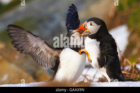 Atlantic puffin (Fratercula arctica) two birds fighting at nesting ground, Hornoya bird cliff, Finnmark, Norway. - Stock Photo
