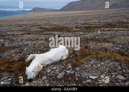 Dead Polar bear (Ursus maritimus) starved to death, Zeipelodden, Svalbard, Norway, September. - Stock Photo