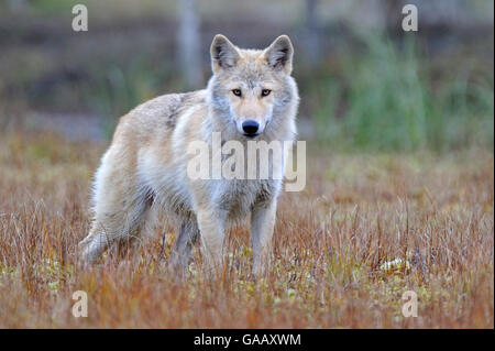 Grey wolf (Canis lupus lupus)  Finland, September. - Stock Photo