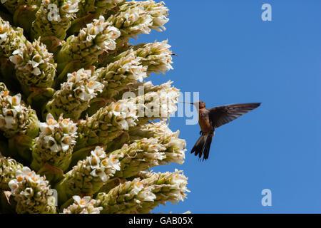 Giant humming bird (Patagona gigas) feeding from Queen of the Andes (Puya raymondii) flowers,  Cordillera Blanca - Stock Photo