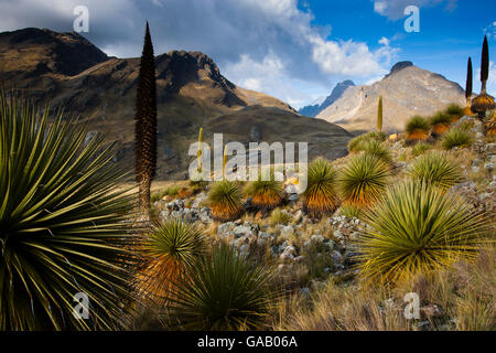 Queen of the Andes (Puya raymondii) Cordillera Blanca Massif, Andes, Peru, November. - Stock Photo