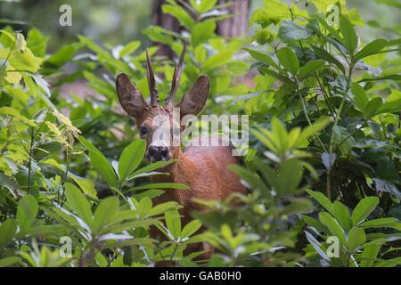 Roe Deer (Capreolus capreolus) stag peering through vegetation, Peerdsbos, Brasschaat, Belgium, July. - Stock Photo