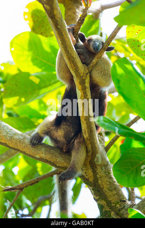 Northern tamandua (Tamandua mexicana) climbing tree, Corcovado National Park, Osa Peninsula, Puntarenas Province, - Stock Photo