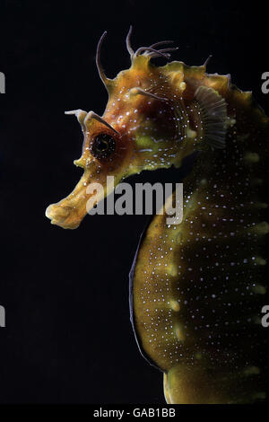 Long snouted seahorse (Hippocampus guttulatus) in captive breeding laboratory at University of Algarve, Portugal. - Stock Photo