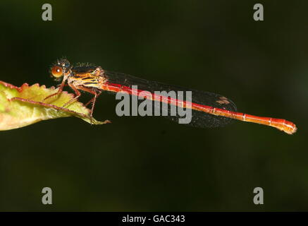 European Small Red Damselfly  (Ceriagrion tenellum) - Stock Photo