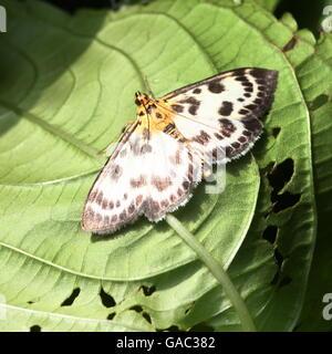 European Small Magpie  Moth (Anania hortulata) - Geometridae - Stock Photo
