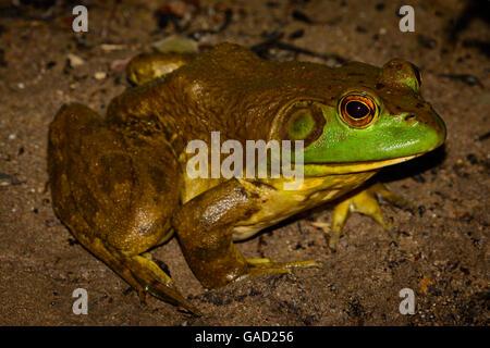 American bullfrog (Lithobates catesbeianus) full profile with vivid eyes - male