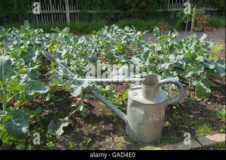 Vintage Galvanised Watering Can in a Bed of Broccoli the Fruit and Vegetable Garden at RHS Rosemoor, Devon, England, - Stock Photo