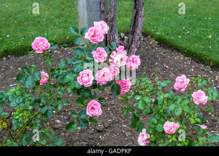 Beautiful pink roses blooming in the garden - Stock Photo