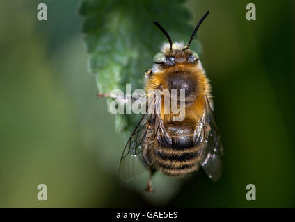 Little Flower Bee (Anthophora bimaculata) resting on catnip leaf - Stock Photo