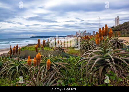Orange aloes and plants growing on rehabilitated dunes against city skyline in Durban, South Africa - Stock Photo