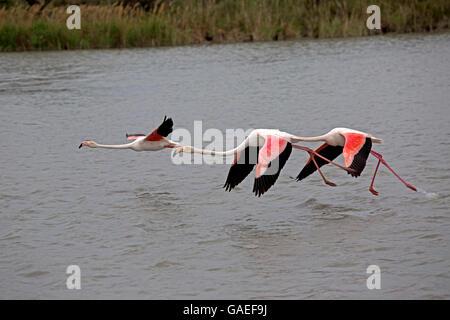 Three Greater flamingo Phoenicopterus roseus in flight Parc Ornithologique Camargue National Park France - Stock Photo