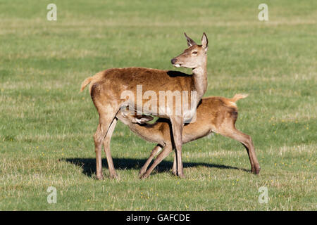 Red Deer young baby calf (Cervus elaphus) suckling feeding from female hind mother mum - Stock Photo