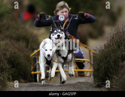 A competitor races along a track whilst participating in the 25th Aviemore Sled Dog Rally at Glenmore Forest Park - Stock Photo