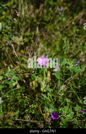 Common Mallow in flower by a footpath  near Castle Acre near King's Lynn Norfolk England - Stock Photo