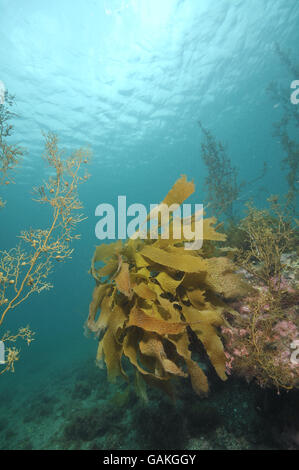 Brown kelp and seaweed in clear shallow water - Stock Photo