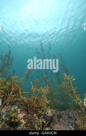 Brown seaweed in shallow water - Stock Photo