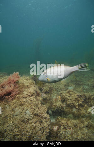 Leatherjacket Parika scaber - Stock Photo