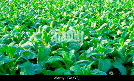 Tobacco farm agriculture harvest in thailand, asia - Stock Photo