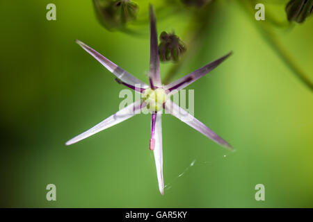 A close up of a single flower of an umbel of a star of Persia (Allium christophii) - Stock Photo
