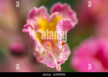 A close up of a flower on a red horse-chestnut (Aesculus × carnea) - Stock Photo