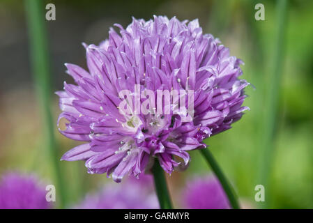Lilac flower of chives, Allium schoenoprasum, a culinary herd in the onion family, May - Stock Photo