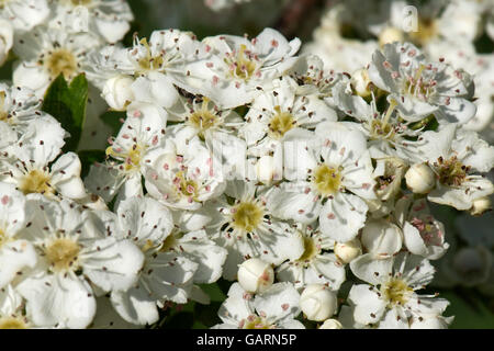 Whiite may or hawthorn blossom, Crataegus monogyna, pungent aromatic flowers in spring - Stock Photo